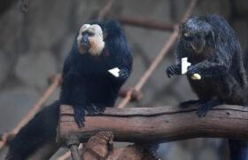 Monos del zoológico de Finlandia prefieren los ruídos del tráfico a los sonidos de la naturaleza