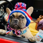 Un pueblo de Kentucky elige a Wilbur Beast, un bulldog francés como su alcalde